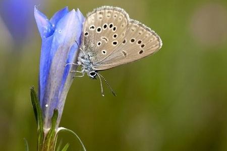aeret gentiaanblauwtje staatsbosbeheer drone